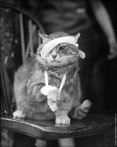 """A bandaged cat recovering from its injuries. (Photo by Maeers/Fox Photos/Getty Images). 25th May 1935"""