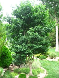 Ginkgo biloba 'Jade Butterflies' I have had 10 years. I guess its age to be 15 years. Now around 12 ft. tall.