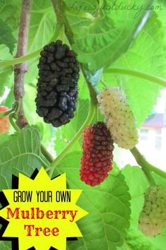 Grow Your Own Mulberry Tree - A wonderful plant for your garden. A great, fast growing, easy shade tree for your backyard, And buckets full of wonderful fruit too. Children love them. So do chickens, ducks and goats. A must for your homestead. Great food for wildlife.