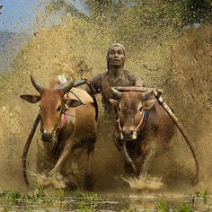 Adventure Travel Photo of the Day: Mud Cow Racing - Pacu Jawi Festival Life Pictures, Art Pictures, Life Pics, Minangkabau, People Of The World, Adventure Travel, Travel Photos, Bali, Cow