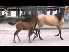 Naturally gaited: Paso Fino foals.