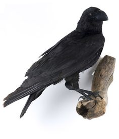 #taxidermy  #raven
