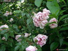 Rosa Edmond Proust