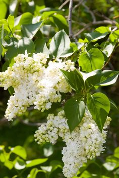 Lemoine Lilac is a French Hybrid Lilac that forms a wide spreading plant…Madame Lemoine Lilac is a French Hybrid Lilac that forms a wide spreading plant… Lilac Tree, Lilac Flowers, May Flowers, Purple Roses, Lilac Plant, Roses And Violets, Lilac Painting, Lilac Bouquet, Syringa Vulgaris