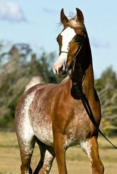 Monarch Park Cimarron is a sabino and rabicano purebred Arabian stallion with extreme markings.