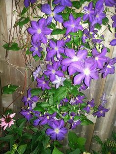 Clematis is so pretty!