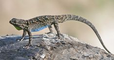 lizard - Google-haku