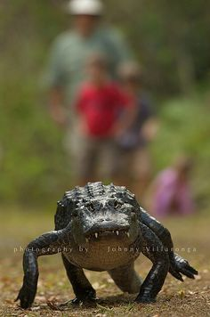 An American Alligator on its Way to The Water... Everglades National Park.
