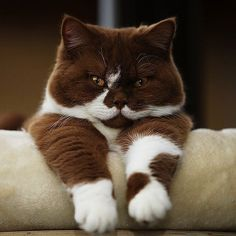Cute Kittens, Cats And Kittens, Animals And Pets, Baby Animals, Funny Animals, Cute Animals, Sleepy Animals, Pretty Cats, Beautiful Cats