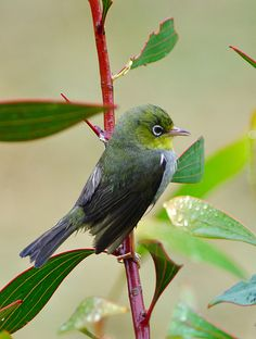 The Silvereye or Wax-eye is a very small bird of the south-west pacific. In Australia and New Zealand its common name is sometimes shortened to white-eye.