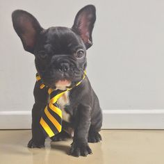 French Bulldog Puppy in a rep tie, so collegiate!