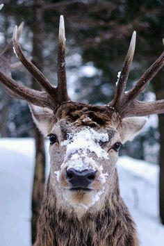 "Wise wapiti by Maxime Plantady via. "" Wise wapiti by Maxime Plantady via "" Vida Animal, Mundo Animal, Beautiful Creatures, Animals Beautiful, Cute Animals, Wild Animals, Majestic Animals, Beautiful Images, I Love Winter"