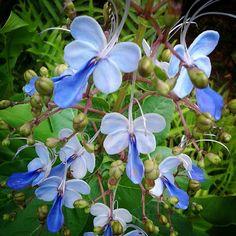 Butteryfly Flower Kauai Hawaii #Travel