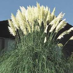 "White Pampas Grass. Exotic Plumes in White or Pink! Beautiful, tall Pampas Grass grows to a height of 6-8' and is topped with showy, silky 18-24"" plumes in mid to late summer. Never needs water once established. Ships in a 3"" pot. Cortaderia selloana. Zones: 7-10. Light: Full Sun. This is a favorite for my ducks to nest inside."