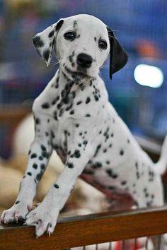 Races de chiens: Dalmatien - Frawsy