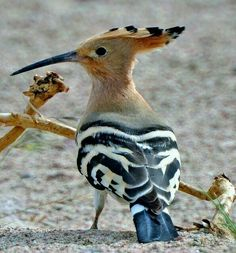 The Hoopoe - Upupa epops - is a colorful bird that is found across Afro-Eurasia, notable for its distinctive 'crown' of feathers. Consider the birds of the air. Kinds Of Birds, All Birds, Little Birds, Love Birds, Angry Birds, Pretty Birds, Beautiful Birds, Animals Beautiful, Cute Animals