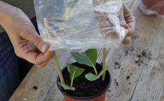 Hortensien durch Stecklinge vermehren #hortensienvermehren Hortensien sind ideale Gartenpflanzen: Sie bleiben kompakt, tragen große Blüten und blühen mehrere Monate lang. So können Sie die beliebten Blütensträucher durch Stecklinge selbst vermehren.