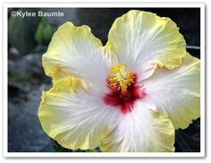 @Ourlittleacre you got some AMAZING photos of the Tropic Escape hibiscus @CostaFarms