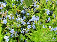 Forget Me Nots by Elizabeth Dow - Forget Me Nots Photograph - Forget Me Nots Fine Art Prints and Posters for Sale