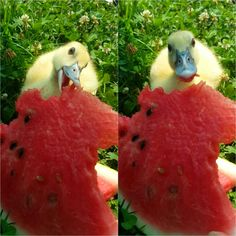 Baby Duck and Watermelon