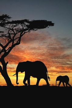 Elephants are the largest land mammals on Earth. Wild elephants can be found in 50 countries, 13 of which are in Asia and 37 in Africa.