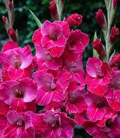 Gladiolus 'Eva Puixeu' Flora Flowers, Exotic Flowers, Amazing Flowers, Pretty Flowers, Pink Flowers, Rare Flowers, Gladioli, Pink Perennials, Gladiolus Flower