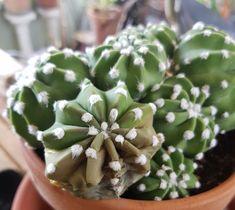 Råte på kaktus kan ødelegge vinterdvalen. Rat, Succulents, Plants, Cactus, Rats, Succulent Plants, Plant, Planets, Computer Mouse