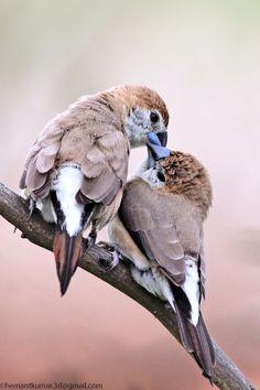 Indian silverbill