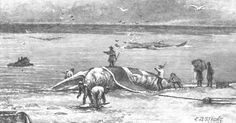 Early days of New England whaling the whale was cut up on the shore.