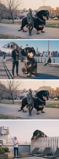 "Writer, photographer, illustrator, and director Mitch Boyer got the idea to Photoshop his tiny dachshund Vivian to an enormous scale after wanting to see her portrayed the same size of her mammoth personality. The idea was so entertaining he decided to turn the series of digitally manipulated images into a children's book titled ""Vivian the Dog Moves to Brooklyn"" which depicts the pair's own move to the city just a couple of years prior."