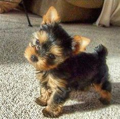 Cute Teacup Puppies, Super Cute Puppies, Cute Baby Dogs, Cute Little Puppies, Cute Little Animals, Teacup Yorkie, Teacup Dogs, Sweet Dogs, Adorable Puppies
