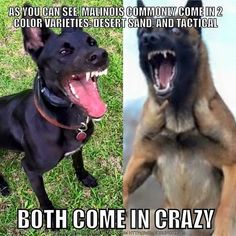 """Visit our web site for additional details on """"miniature pointers"""". It is actually an excellent area to learn more. Funny Animal Memes, Dog Memes, Funny Dogs, Funny Animals, Military Working Dogs, Military Dogs, Police Dogs, Belgium Malinois, Belgian Malinois Dog"""
