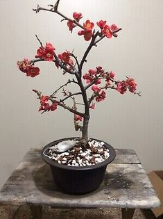 bonsai tree Large red Quince Rare Variety | eBay Bonsai, House Plants, Indoor, Flowers, Red, Ebay, Beautiful, Interior, Indoor House Plants