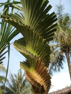 Pandanus spiralis in Vanuatu. I have 5 different palm trees in my yard. Never seen one like this. Ever! Now I now why. It is native plant in Australia. Another reason I need to visit! LO