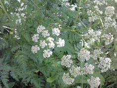 Hogweed , Hemlock and cow parsley..