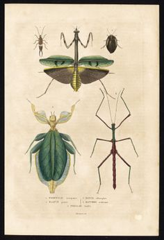 Antique Insects Print-PRAYING MANTIS-Drapiez-1853