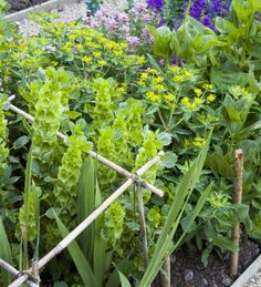 Euphorbia And Moluccella Collection. Flower Garden LayoutsCut ...