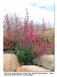 drought tolerant - blooms March April, plant in autumn.  2-5 ft high. Thrives in full sun to part shade.: