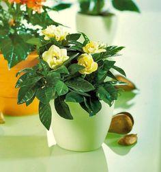 Gardenia jaśminowata. Wsparcie dla nieśmiałych - za jej pośrednictwem można wyznać głęboko skrywane uczucie.