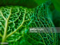 View top-quality stock photos of Extreme Close Up Of Savoy Cabbage. Find premium, high-resolution stock photography at Getty Images. Texture Photography, Macro Photography, Amazing Photography, Savoy Cabbage, Extreme Close Up, Vegetable Stock, Patterns In Nature, Still Image, Shades Of Green