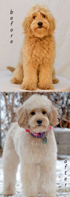 In this article, we will be discussing Goldendoodle grooming. We will outline the most important steps on how to groom a Goldendoodle, and we will even touch a little bit on Goldendoodle grooming styles. Goldendoodle Haircuts, Goldendoodle Grooming, Dog Haircuts, Dog Grooming, Mini Doodle, Doodle Dog, I Love Dogs, Cute Dogs, Goldendoodle Miniature
