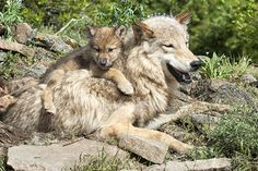 Wolf Awareness Week: Timber wolf pup cuddling with mom