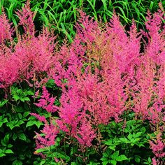 Astilbe hybrids: Feathery, plumelike flowers have an airy quality; they come in shades of pink, salmon, lavender, red, and white above fernlike foliage.