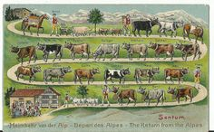 Rare c.1900 Postcard Switzerland - Sentum,  Heimkehr von der Alp, Swiss Cows, Embossed