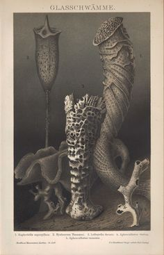 Chromo-Lithografien 1894: GLASSCHWÄMME. Euplectella aspergillum Ozean Antarktis