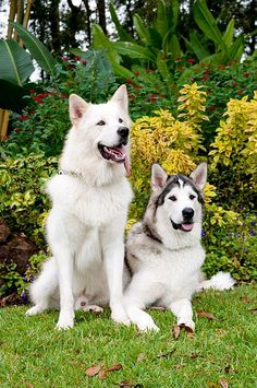 Malamutes Animals And Pets, Baby Animals, Cute Animals, A Husky, Alaskan Malamute, Beautiful Dogs, Dog Pictures, Puppy Love, Fur Babies