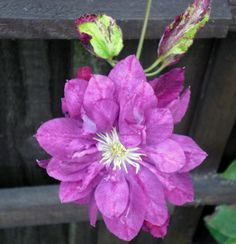 """Clematis """"Red Star"""""""