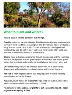 Taupo Native Plant Nursery - guide to hedges (screenshot from winter newsletter) Plant Nursery, Native Plants, Hedges, Nativity, Berries, Survival, Gardens, Winter, Flowers