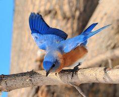 male bluebird, beautiful