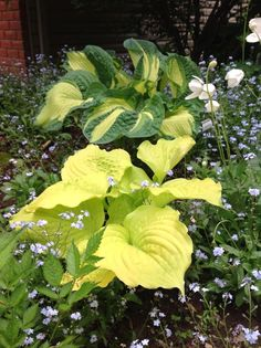 Pearl Barkman‎ post American Hosta Society FB age... Golden Meadows and Dawns Early Light